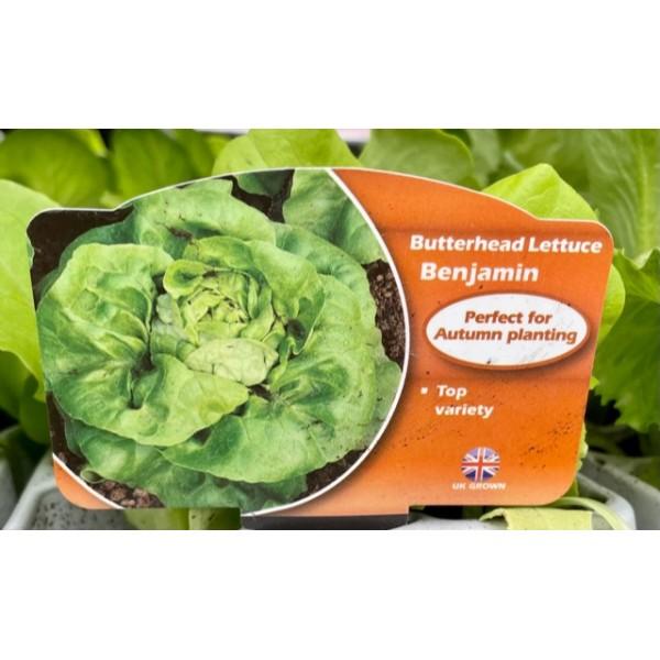 Lettuce Butterhead - Benjamin