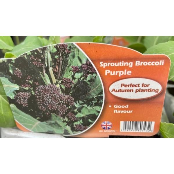 Sprouting Broccoli - Purple