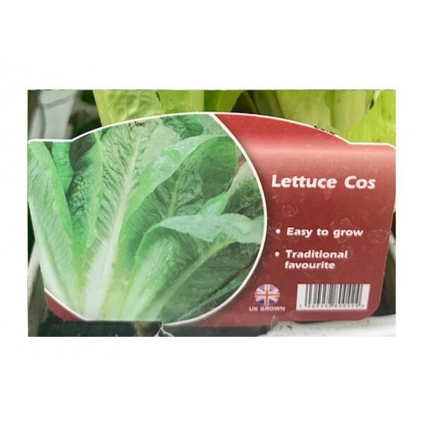 Lettuce - Cos