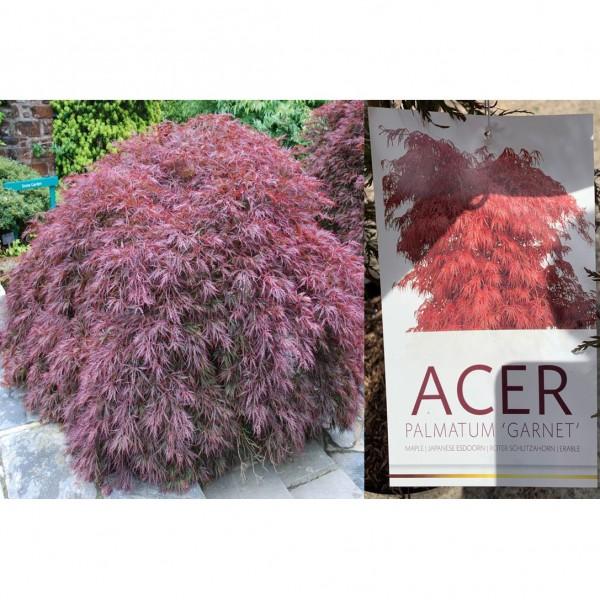 Acer - Palmatum - Garnet - (C3075) - X1