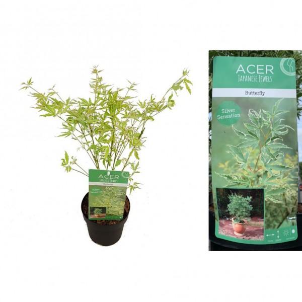 Acer - Palmatum - Butterfly - X1