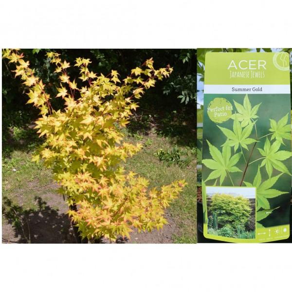 Acer - Palmatum - Summer Gold - (C3075) - X1